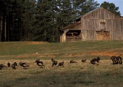 Sometimes it pays to scatter a henned-up spring turkey flock. (NWTF media photo)