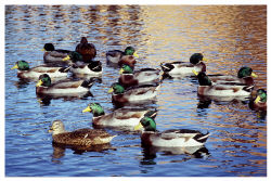 Yamaha Outdoors Tips — Decoying Waterfowl