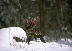 The gobblers you find before the season might be elsewhere later. Scout the late-winter habitats nearby for places you'll hunt when Opening Day arrives, even if birds aren't there now. (NWTF photo)