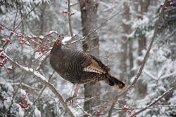 Roost to food; food to roost. Such is the winter turkey's life. These big birds, like this snowbound hen, are highly omnivorous and eat anything from hard and soft mast to a range of other dietary choices. (NWTF media photo)