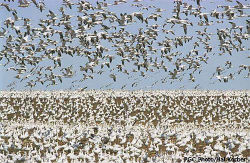 Yamaha Outdoors Tips — March Snow Geese